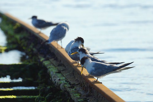 Terns and gulls, Melbourne | by Joe Lewit