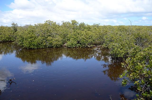 DSC_6697 grey mangroves (Avicennia marina), St Kilda Mangrove Trail, St Kilda, South Australia
