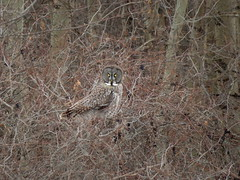 Great Gray Owl, Robert Moses State Park, NY, 2/21/2017