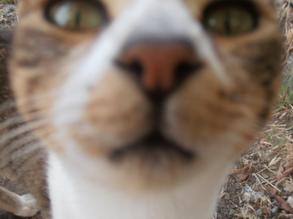 Museau de chat andalou, dans la Sierra Nevada, Espagne
