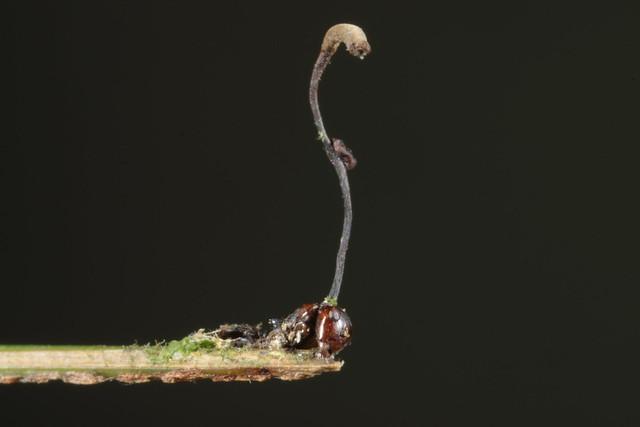 Ophiocordyceps sp.