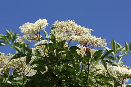 Elderflowers, Sambucus nigra | by john shortland