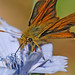 close up of a skipper butterfly nectaring at a Chicory flower.