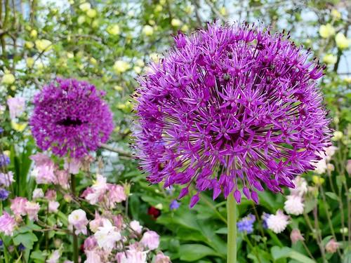 Purple Alliums in Garden (17/05/2014)