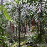 07 Viajefilos en Australia. Dorrigo Rainforest NP 23
