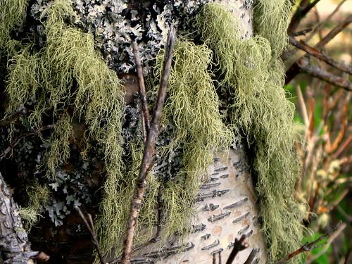laclahache lichen moss birch closeup tree trees forest green nature wetland woods rainforest
