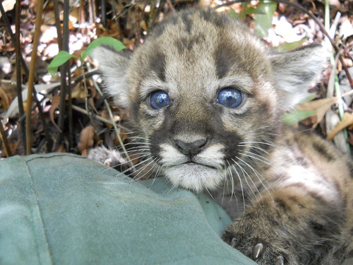Florida Panther Kitten | by MyFWC Florida Fish and Wildlife
