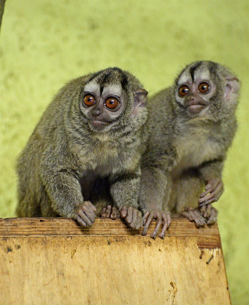 Night monkeys