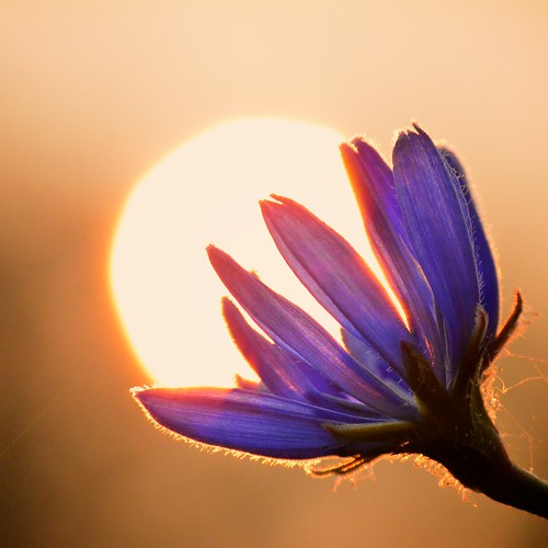 Chicory flower catching the Sunrise | by onewildwest