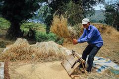 Man Threshing Rice, Lai Châu Vietnam