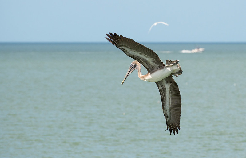 Hunting Brown Pelican