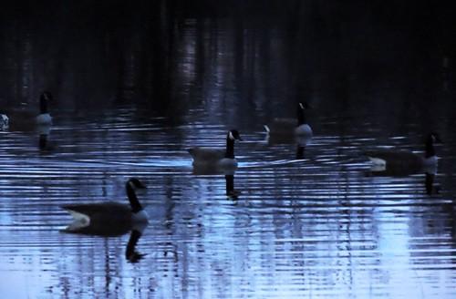 sunset usa lake reflection water birds geese twilight texas ripples horseshoelake canadageese walkercounty huntsvilletx