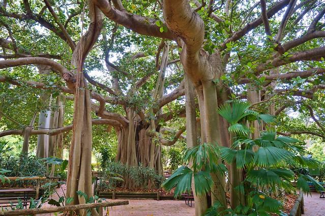 Ficus bengalensis (Banyan Fig) planted 1895 (4)