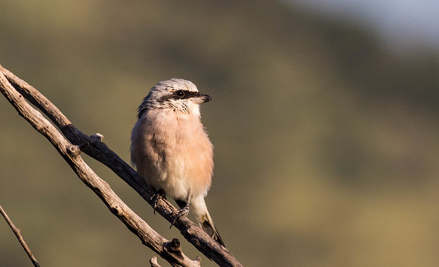 Red Backed Shrike - Rødrygget tornskade (Lanius collurio) in Pilanesberg, South Africa
