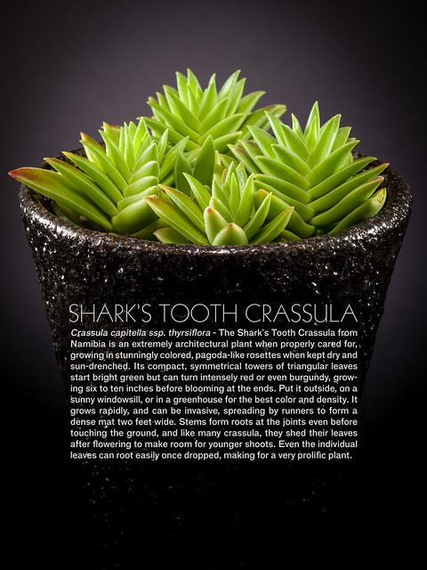 Shark's Tooth Crassula