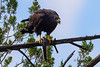 Brunch with a Zone-tail -Buteo albonotatus by bestshot_photos