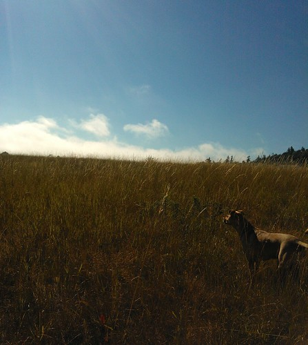 rosieonthegrassyhillside summer blueskywithafewclouds sequim washington usa rosie grassy hillside brown dog grasses day rosiesworld grassyhillside clallamcounty christinaisjustoverthehorizon