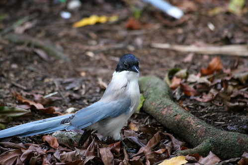 AZURE-WINGED MAGPIE | by cuatrok77