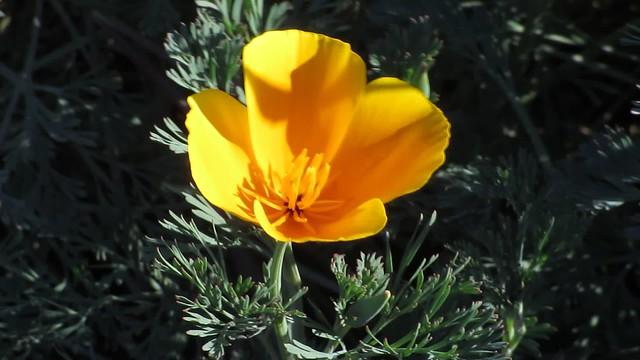MVI_8206 honeybee moving on poppy flower ellwood field