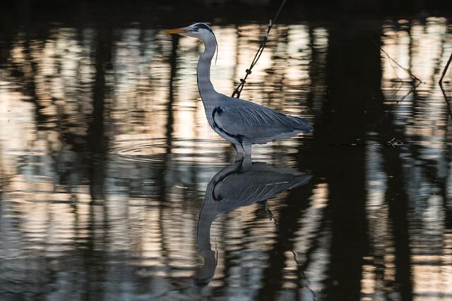 Grey Heron - Airone Cenerino (Ardea cinerea)