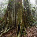 07 Viajefilos en Australia. Dorrigo Rainforest NP 21