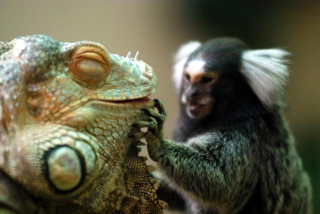green iguana & marmoset