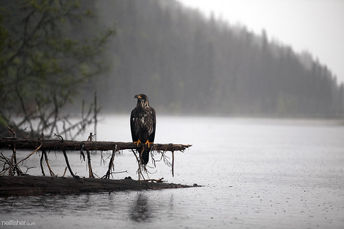 Wet eagle | by neil.fisher