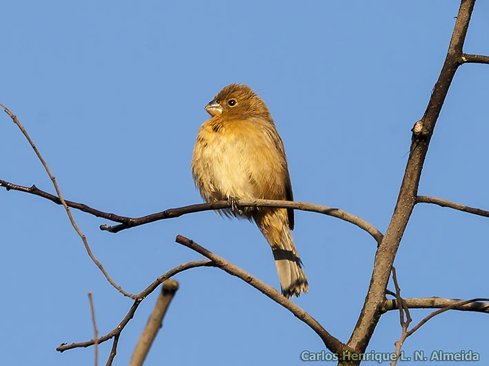 Pearly-bellied Seedeater