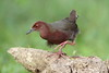 Ruddy-breasted Crake - Explored! by myrontay