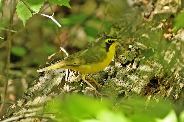 Kentucky Warbler (lifer)