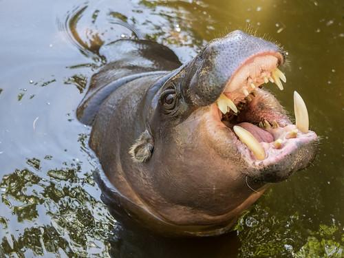Pygmy Hippopotamus | by wwarby