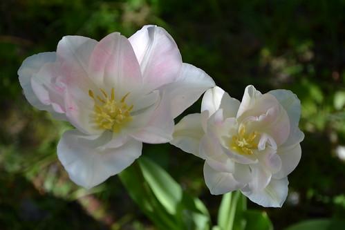 Tulipa - espèces et petits hybrides (sections 12 à 15) 33012834536_9e66540fd0
