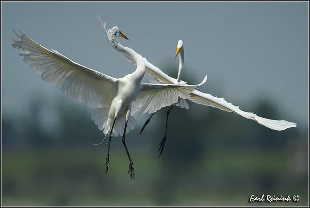Great Egret (130703-0680)