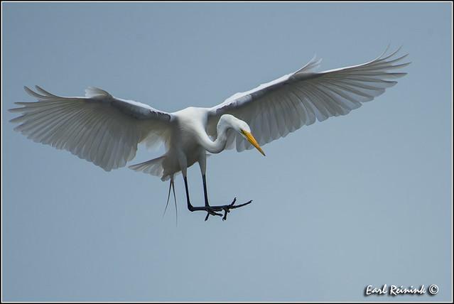 Great Egret (130703-1003)
