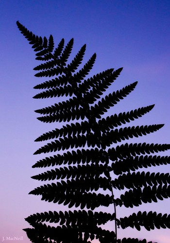 sunset sky fern nature leaves silhouette leaf purple jennifermacneill jennifermacneillphotography