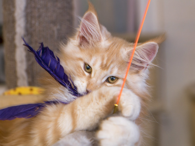 Orion playing with a feather