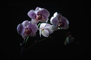 Orchid | by Zé.Valdi