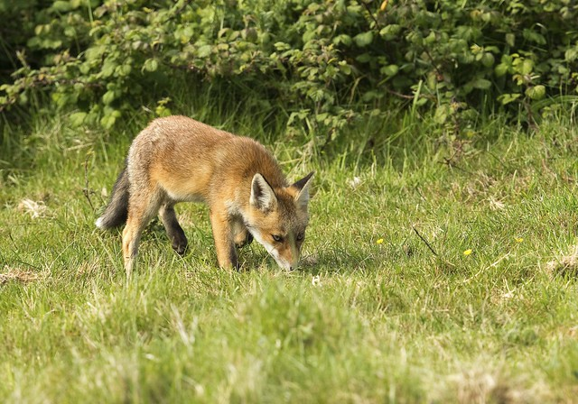 Fox Cub - Lorton Meadow