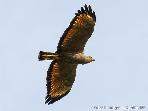 Savana Hawk | by This Way - Birding Services
