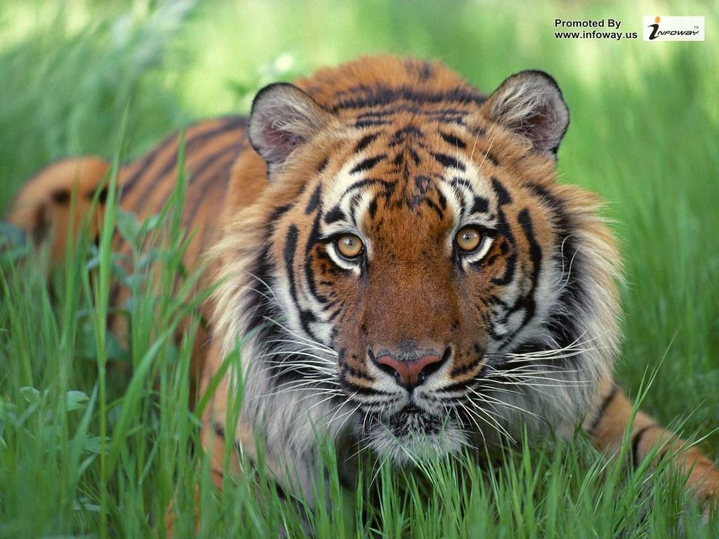Tiger Wallpapers Hd Tiger Wallpaper Normal Tiger Wallpaper