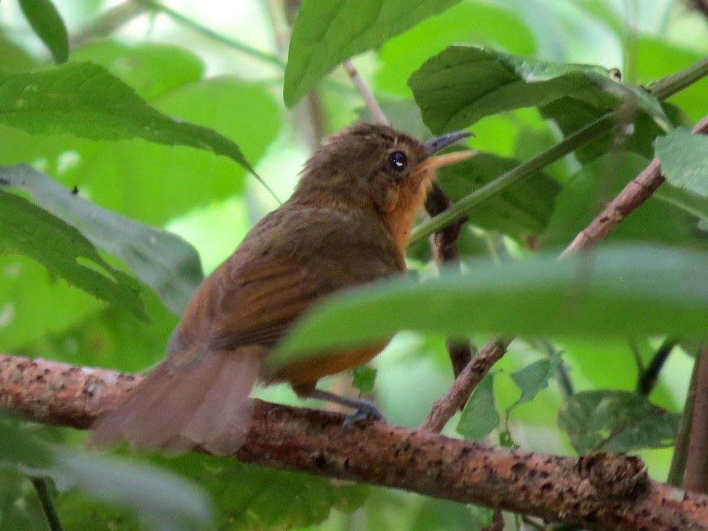 female Dusky Antbird