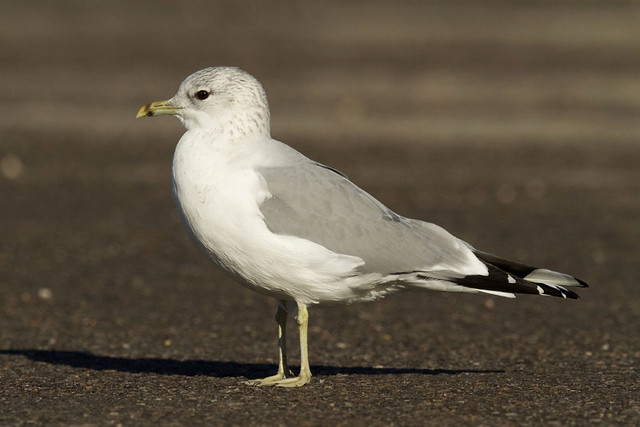 Larus canus - Common Gull - Mew Gull