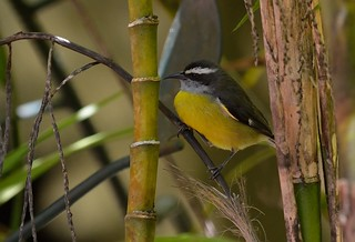 The Everyday Bananaquit | by Odonata457