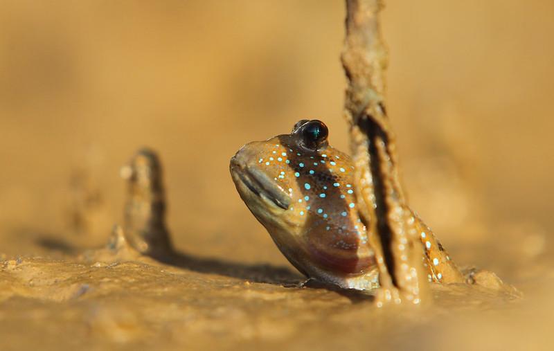 Blue-Spotted Mudskipper