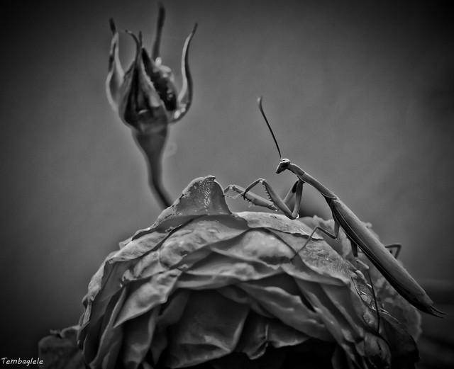 La rose et la mante