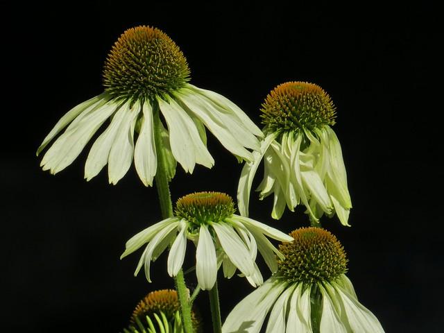 Echenasia Flowers