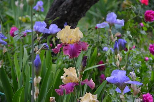 Nos Iris : floraisons 2012 - Page 3 32861669225_4bd121e422