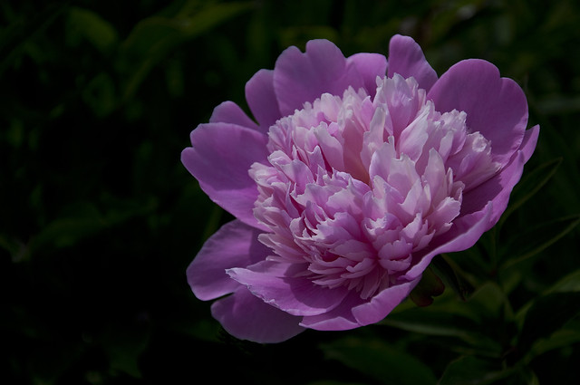 Peony at FDR