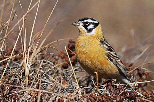 Smith's Longspur   by uropsalis