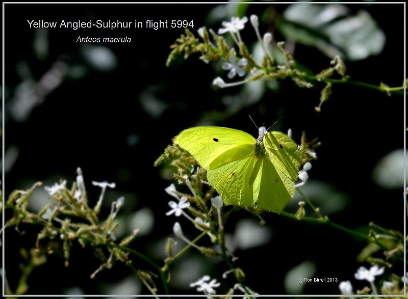 Yellow Angled-Sulphur Texas butterfly photography by Ron Birrell, DSC_5994